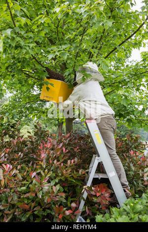 Honey bees (Apis mellifera) swarming out. Beekeeper collecting swarm. De Zanderij rural estate. 's-Gravelandse Buitenplaatsen, 's-Graveland, The Nethe - Stock Photo