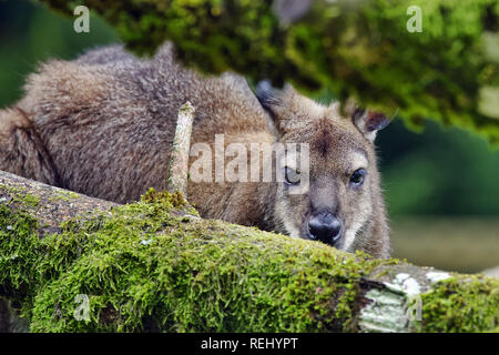 Red-necked wallaby / Bennett's wallaby - Macropus rufogriseus - Stock Photo