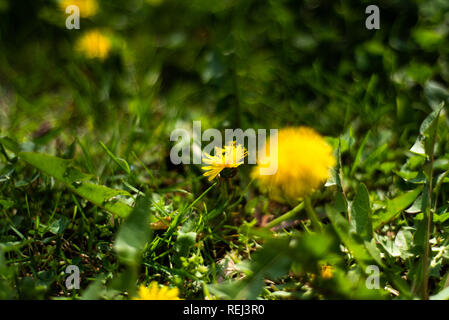 Yellow dandelions in the grass field, spring time - Stock Photo