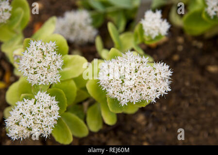 sedum spectabile iceberg - Stock Photo