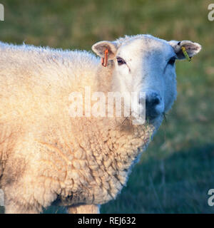 sheep ewe with ears tagged chewing grass looking at camera - Stock Photo