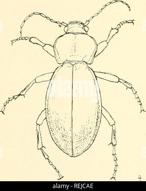 . Coleoptera illustrata. Beetles. COLEOPTERA ILLUSTRATA, VOL. I, No. 1. Plate X. Carabidae.. 10. Carabus hemprichii, Klug. 5 Long. 2S mm. Patria. Syria.. Please note that these images are extracted from scanned page images that may have been digitally enhanced for readability - coloration and appearance of these illustrations may not perfectly resemble the original work.. Notman, Howard. Brooklyn, N. Y - Stock Photo