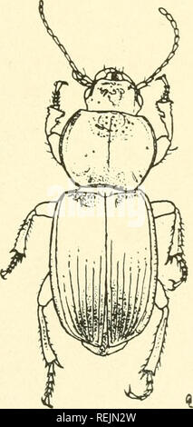 . Coleoptera illustrata. Beetles. Coleoptera Illustrata, Vol. I, No. 2. Plate XXXVIII. Carabidae. Liochirus cyclcderus, Solsky. $ Long. 10.5 mm. Patrta. Turkestan.. Please note that these images are extracted from scanned page images that may have been digitally enhanced for readability - coloration and appearance of these illustrations may not perfectly resemble the original work.. Notman, Howard. Brooklyn, N. Y - Stock Photo