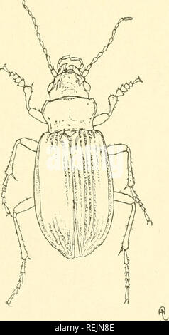 . Coleoptera illustrata. Beetles. Coleoptera Illustrata, Vol. I, No. 2. Plate XIX. Carabidae. 69. Pelophila borealis, Paykull. $ Long. 10 mm. Patria. Northern portions of the Palearctic Region.. Please note that these images are extracted from scanned page images that may have been digitally enhanced for readability - coloration and appearance of these illustrations may not perfectly resemble the original work.. Notman, Howard. Brooklyn, N. Y - Stock Photo