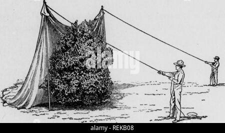 . Cirtus fruits under irragation. Citrus fruits; Fruit-culture. Fig. 20. Please note that these images are extracted from scanned page images that may have been digitally enhanced for readability - coloration and appearance of these illustrations may not perfectly resemble the original work.. Scranton : International Textbook Co. - Stock Photo