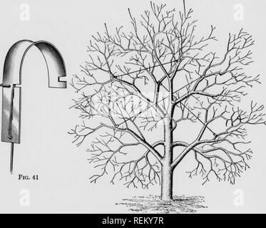 . Cirtus fruits under irragation. Citrus fruits; Fruit-culture. Fig. 42. Please note that these images are extracted from scanned page images that may have been digitally enhanced for readability - coloration and appearance of these illustrations may not perfectly resemble the original work.. Scranton : International Textbook Co. - Stock Photo
