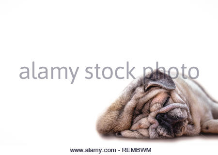 Close Up Face Headshot of Pug dog. Fat dog with many wrinkles on his face. Dog with funny face. - Stock Photo