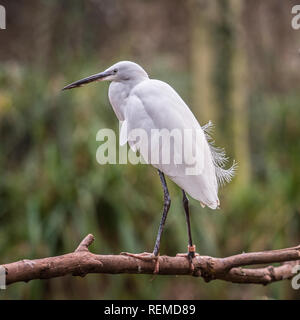 little Egret roosting - Stock Photo