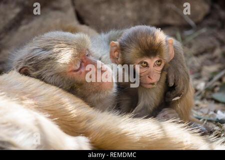 Playful Rhesus macaque (Macaca Mulatta) infant monkey next to a sleeping adult monkey, Swayambhunath, Nepal - Stock Photo