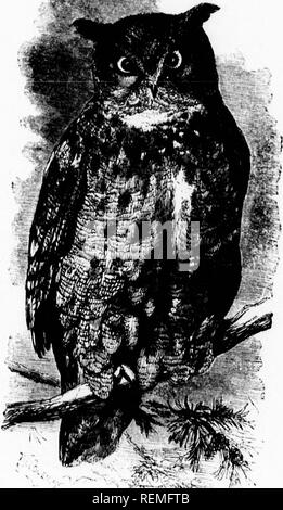 """. The illustrated natural history [microform]. Birds; Natural history; Oiseaux; Sciences naturelles. 5 the eagle Owl ated from many HABITS or THE VIEOIOTAN EAKKD OWI, ,03 mtemled vi,.l,im, which immediately d VPS into il^^^^^^^^^^ and ghdes off the back if its froiB the surprise of its unexpected failure brushwood before the Owl can recover The following admirable descrintion nf +i,Â« tr- ⢠â in the earlier days of cuItivatiorLg^enbvA^^^^^^^ '' i* """"Â«ed to be Birds of America. ^ ^ ^^ Audubon la his well-known History of the """"It is during the placid serenity of a beautiful night, M'h - Stock Photo"""