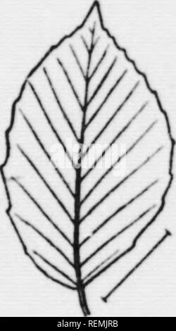. Illustrated key to the wild and commonly cultivated trees of the northeastern United States and adjacent Canada [microform] : based primarily upon leaf characters. Trees; Trees; Arbres; Arbres. Fig. 139- Smooth .I(ler. Fig. 140. Fern-lcae(l Heech. Fig. 141. Pur-  )le- leaved Heech. or somewhat rusty beneath. Mature fruit I to I inch long. Known in the eastern states only from Del. and eastern Md. Seaside Alder, Alnus maritima (Marsh.) Muhl. 121. Leaves fan-shaped or rounded. Margins coarsely toothed. Cult, and escaped. Na-. Please note that these images are extracted from scanned page imag - Stock Photo