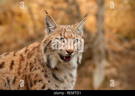 Detailed close-up of adult eursian lynx in autmn forest with blurred background. - Stock Photo