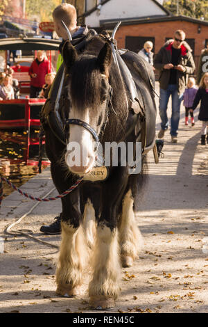 Draft horse used to pull canal narrowboat for tourists along the 200 year old Llangollen canal in North Wales - Stock Photo