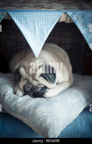 Adorable lovely puppy pet pug dog sleeping in her little cozy house protectnig himself with paws and doing wonderful dreams - happy and funny sweet co - Stock Photo