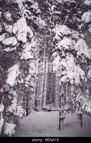 Snow covered tree-lined forest path in Hochsteinalm - Stock Photo