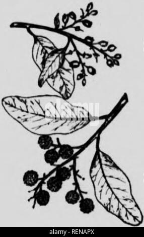 """. Forests and trees [microform]. Forests and forestry; Forêts et sylviculture; Trees; Arbres. ^oo Forests i'"""".<l Trffs an.. urn-sha,H..i, an,i the fruit u sort ..f -Irupc in ^^ Hc^ is dry and powdery. They are useful only for dceoral.Nt pur lioses. , Madkona. Arl.utus Menziesii. I'ursh. This is said to be the largest and most beautiful member of rather slender. 11 has a straight .lean trunk, rather stout often ascen<ling branches, re.l bark and twins The outer bark ..tten breaks away ami peels .,ff in patches. The leaves are rather thick and leathery, shmmg green above but paler ben - Stock Photo"""