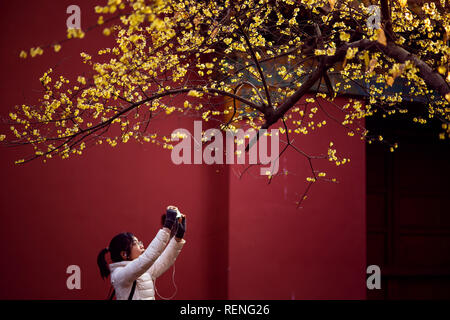 Nanjing, China. 21st Jan, 2019. Blooming plum flowers at the Xiaoling Mausoleum of Ming Dynasty Scenic Area in Nanjing, east China's Jiangsu Province. Credit: Sipa Asia/Pacific Press/Alamy Live News - Stock Photo