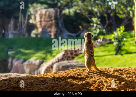 A meerkat, suricata suricatta, standing on the ground in backlit. There's a giraffe in the background - Stock Photo
