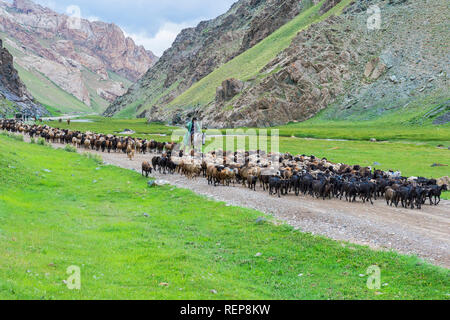 Shepherd conducting a sheep herd in a valley, Naryn Province, Kyrgyzstan - Stock Photo