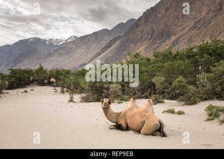 Domestic camel in Nubra valley in Ladakh, India - Stock Photo