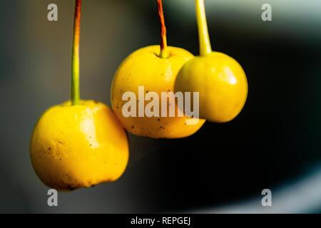macro close up of yellow berries isolated - Stock Photo