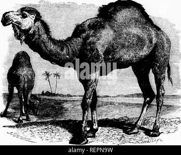 . The illustrated natural history [microform]. Mammals; Natural history; Mammifères; Sciences naturelles. â¢I. CAMEL.âCaiiic/w Arubicus. ^SS,^M/i>/f- m S Tlu> Napu, or Java Mvm, inhabits Java and Sumatra, and without possessing the intellect ot the Kiuiclnl, is a very pleasinj,^ animal to the sight, and as it is readily (Idiuesticated, is well adapted to European menageries. From tlie earliest times that are recorded in history, the Camel is mentioned as one of the animals whieh are totally subject to the sway of man, and which in eastern countries contnlmte so much to the wealth and in - Stock Photo