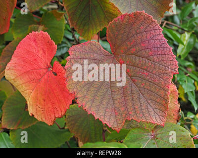 large leaves of Crimson Glory Vine (Vitis coignetiae), showing range of autumn colours from green to red in a garden in North Yorkshire, England, UK - Stock Photo
