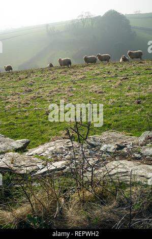 Sheep grazing on hills near Kingsbridge, Devon, UK - Stock Photo