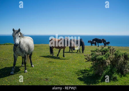 Horses on Bolt Head, East Soar, South Hams, Devon, UK - Stock Photo