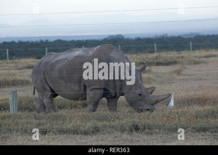 Adult Northern White rhino, Ceratotherium simum cottoni, the last adult female left alive, Ol Pejeta Conservancy, Kenya - Stock Photo