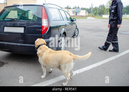 Labrador retriever Customs dog looking for items prohibited for transfer through the border - Stock Photo