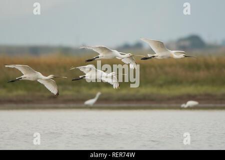 Spoonbill / Platalea leucorodia - Stock Photo