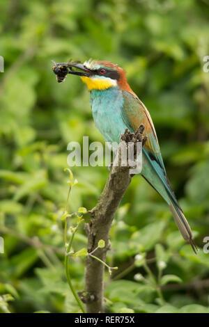 European Bee-eater / Merops apiaster - Stock Photo