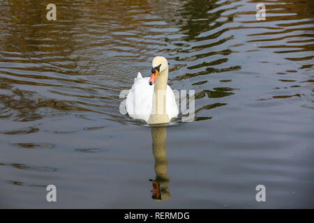 Finsbury Park, London, UK. 23rd Jan, 2019. A white swan swims in Finsbury Park lake on a cold freezing morning. Credit: Dinendra Haria/Alamy Live News - Stock Photo