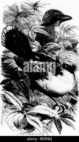 """. The illustrated natural history [microform]. Birds; Natural history; Oiseaux; Sciences naturelles. ii,: '⢠H'^ more oompnot nost with the Lark of trees; and in all cases this snocios broods vorv ciilv in the Hcasun. â """" â¢' v It is said that the Hooded f'row will sometimes breed with tlu, coimnon si.ocios .ââ1 Mr V ril'^ TT ;'''^*^"""";""""';""""r. 'T """"'""""""""^'^'^^ """"^ ^^'^^ """"^'""""'^^^ Naturalist,- and quoted l,v Mr. iarrcll ni his history ot tlie bud. ^ â¢' """"For four successive years I have had opi^ortunities of witnessing tho pairin"""" of tlio ca - Stock Photo"""