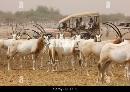 Scimitar-horned Oryx, (Oryx dammah), Game drive at Sir Bani Yas Island, private game reserve in the Persian Gulf with over 10000 - Stock Photo