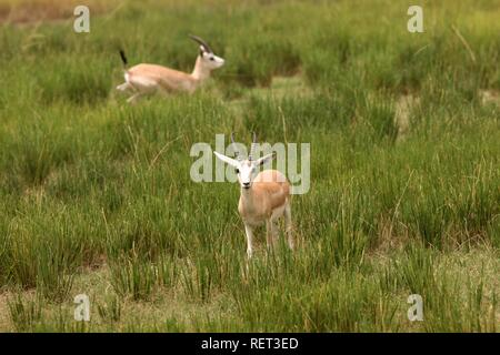 Gazelle, Sir Bani Yas Island, private game reserve in the Persian Gulf with over 10000 steppe animals, near Abu Dhabi - Stock Photo