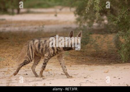 Striped Hyena (Hyaena hyaena), Sir Bani Yas Island, private game reserve in the Persian Gulf, near Abu Dhabi - Stock Photo