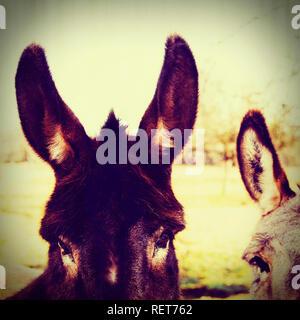 Two donkeys in a field, France - Stock Photo