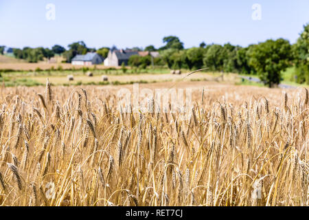 Close-up view of ripe ears of barley in a field under a bright sunlight in the french countryside with farm buildings in a blurry background. - Stock Photo