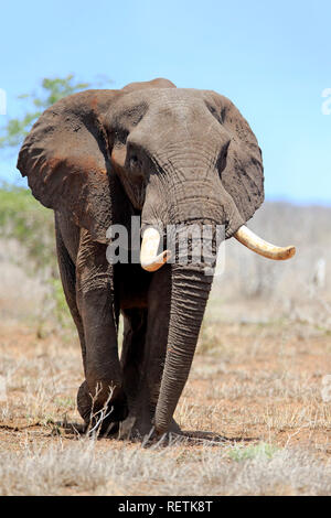 African Elephant, adult male searching for food, Sabi Sand Game Reserve, Kruger Nationalpark, South Africa, Africa, (Loxodonta africana) - Stock Photo