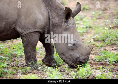 White Rhinoceros, Sabi Sand Game Reserve, Kruger Nationalpark, South Africa, Africa, (Ceratotherium simum) - Stock Photo