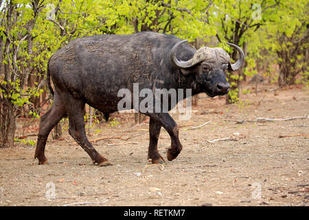 African Buffalo, adult walking, Kruger Nationalpark, South Africa, Africa, (Syncerus caffer) - Stock Photo