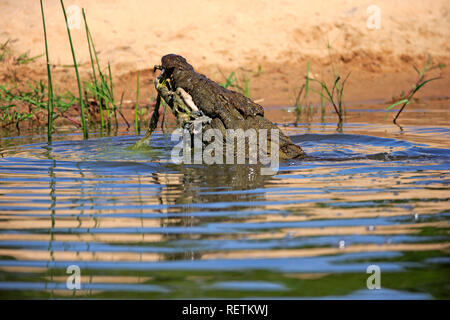 Nile Crocodile, adult in water with prey, Sabi Sand Game Reserve, Kruger Nationalpark, South Africa, Africa, (Crocodylus niloticus) - Stock Photo