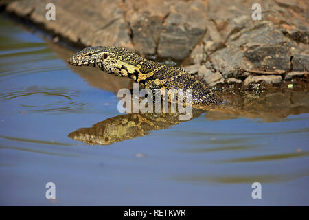 Nile Monitor, adult in water, Kruger Nationalpark, South Africa, Africa, (Varanus niloticus) - Stock Photo