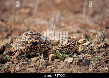 Leopard Tortoise, adult couple, Kruger Nationapark, South Africa, Africa, (Testudo pardalis) - Stock Photo