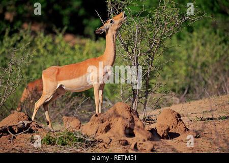 Impala, adult female feeding, Sabi Sand Game Reserve, Kruger Nationalpark, South Africa, Africa, (Aepyceros melampus) - Stock Photo