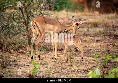 Impala, adult female with young, social behaviour, Sabi Sand Game Reserve, Kruger Nationalpark, South Africa, Africa, (Aepyceros melampus) - Stock Photo