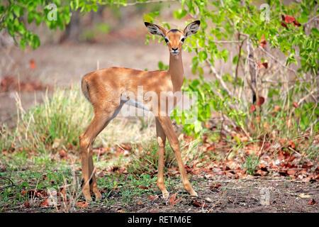 Impala, young, Sabi Sand Game Reserve, Kruger Nationalpark, South Africa, Africa, (Aepyceros melampus) - Stock Photo