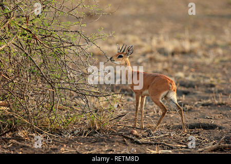 Steenbok, adult male, Kruger Nationalpark, South Africa, Africa, (Raphicerus campestris) - Stock Photo